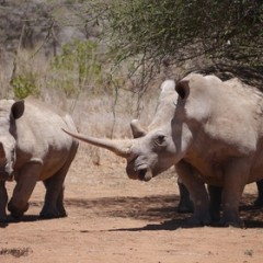 Africa still trapped deepening rhino poaching
