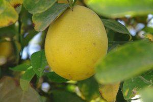 Lemon Photo credit OAPGRC