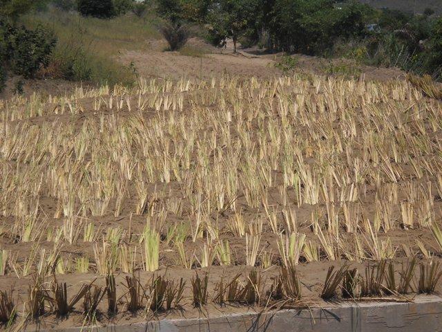 COP 22: Congo-Brazzaville- Le Vétiver : une protection contre les érosions