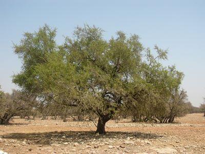Maroc :  L'industrie de l'arganeraie  s'adapte aux changements climatiques