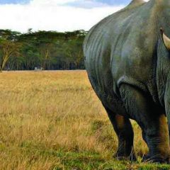 World Rhino Day: there are now just 4,800 black rhino individuals left in the wild-UN ENVIRONMENT