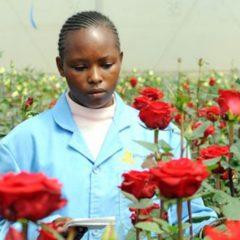 New green technologyto help Kenya 's flowers