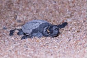 Des tortues caouannes dans le var!